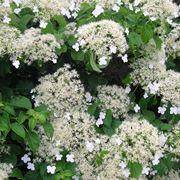 Pianta rampicante in fiore di Ortensia
