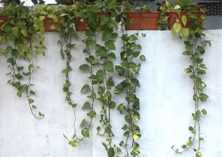 Piante rampicanti da esterno rampicanti piante for Piante rampicanti sempreverdi