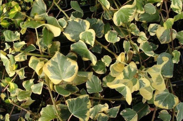 Specie di Edera variegata
