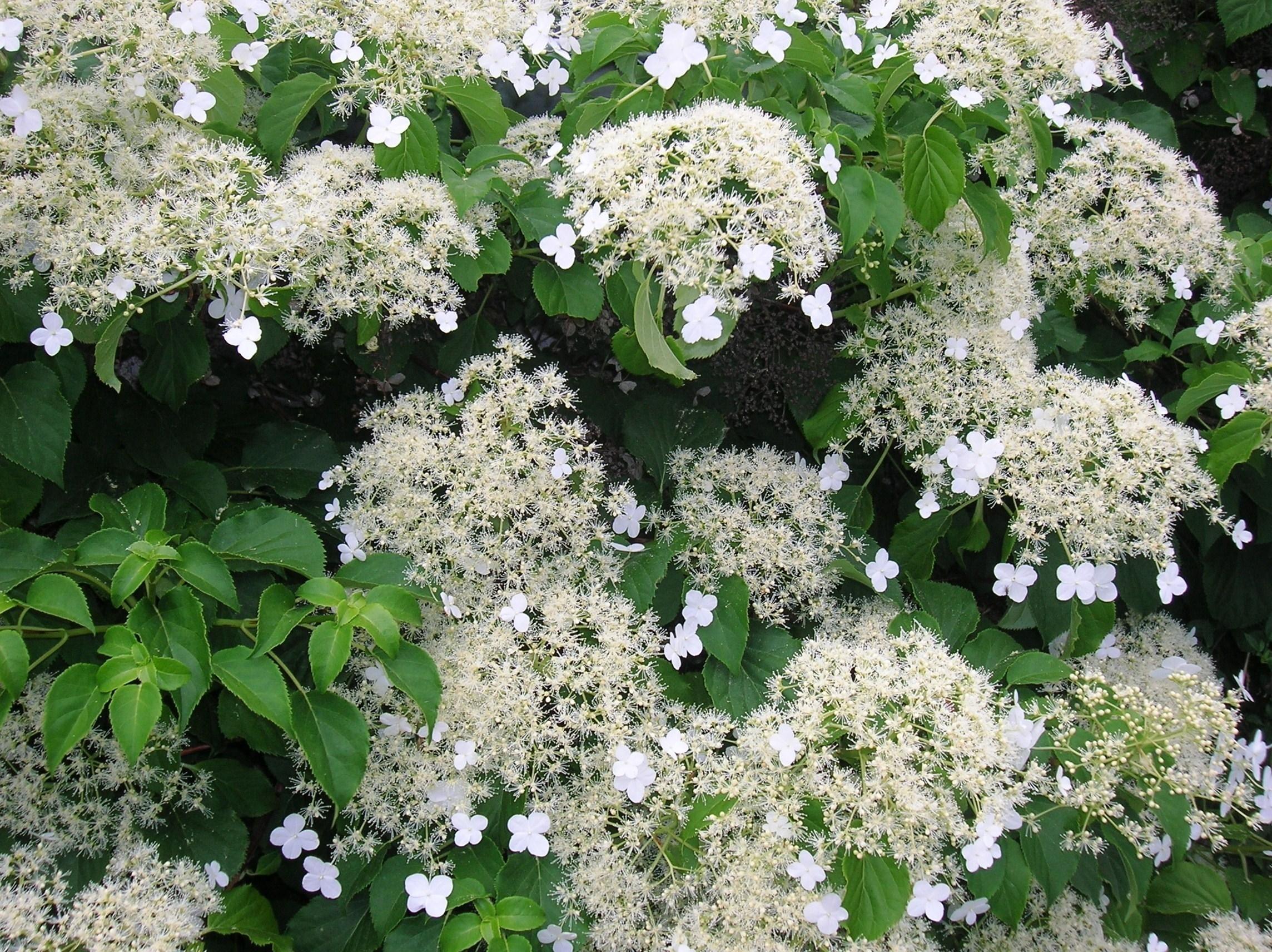 Piante rampicanti da esterno rampicanti piante for Fiori sempreverdi da giardino