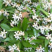 piante rampicanti da vaso: il gelsomino