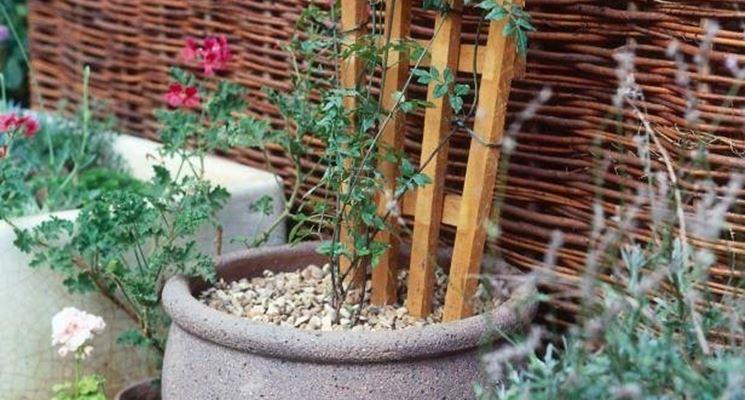 piante rampicanti con traliccio