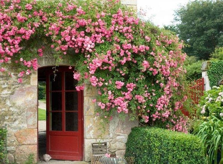 Piante rampicanti fiorite - Rampicanti - Piante rampicanti fiorite in giardino