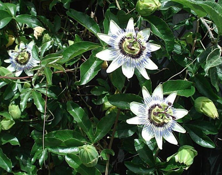 Fiori di Passiflora rampicante