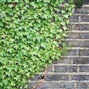 Piante rampicanti fiorite rampicanti piante rampicanti for Piante rampicanti sempreverdi