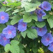 Fogliame e fiori di Ipomea