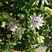 Foglie e fiori di Passiflora