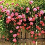 Esemplari di rose rampicanti