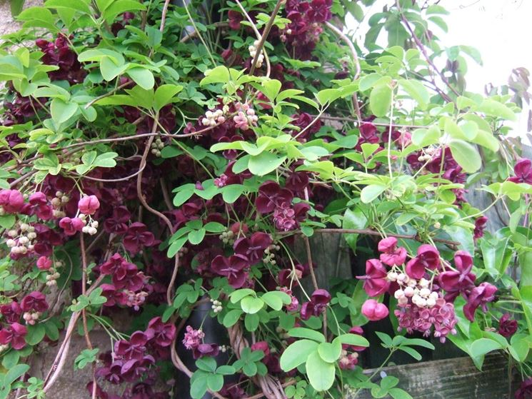 Una pianta di akebia quinata