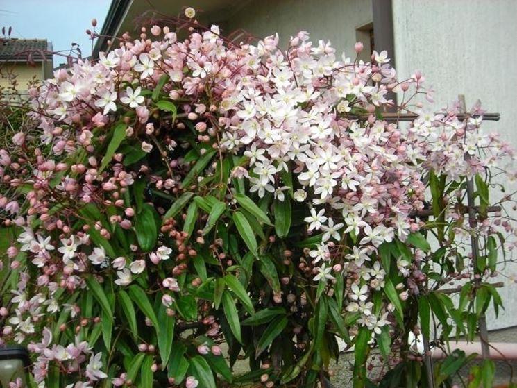 Una pianta di clematide