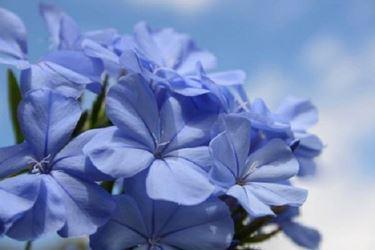 I fiori azzurri del plumbago