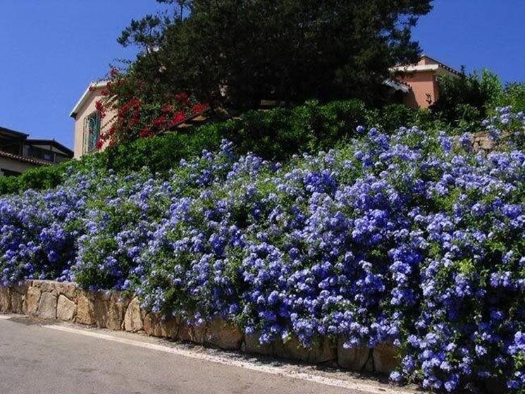 Plumbago pianta rampicanti caratteristiche della for Pianta esterna