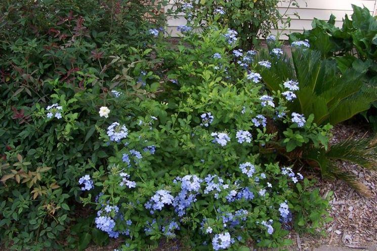 Giardino gelsomino azzurro
