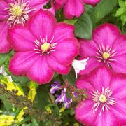 rampicanti fioriti