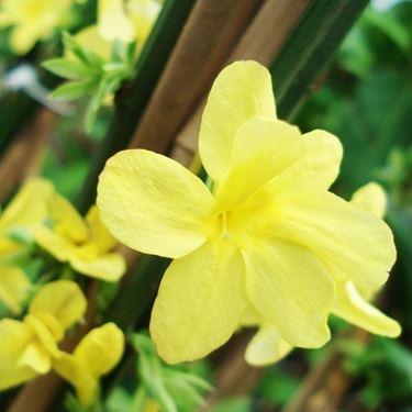 Fiore di Gelsomino d'inverno