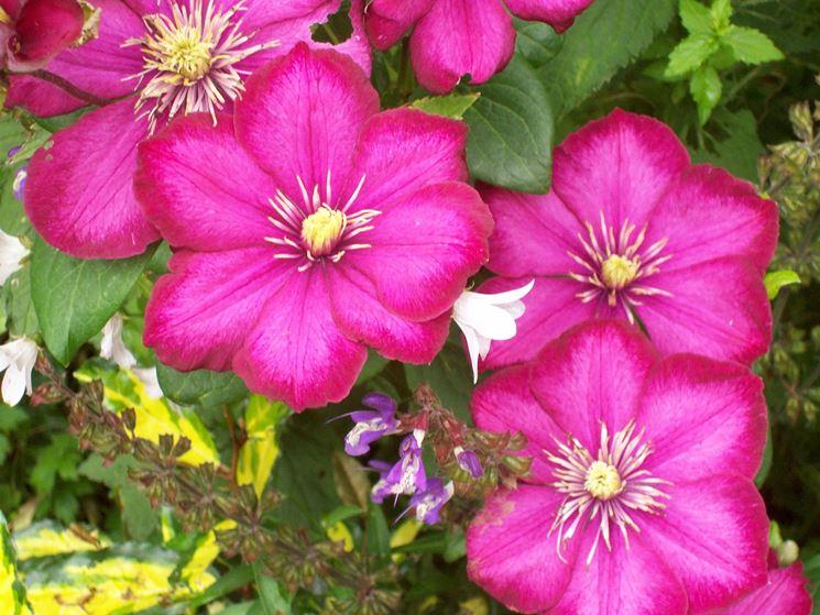 Fiori rosa di Clematis