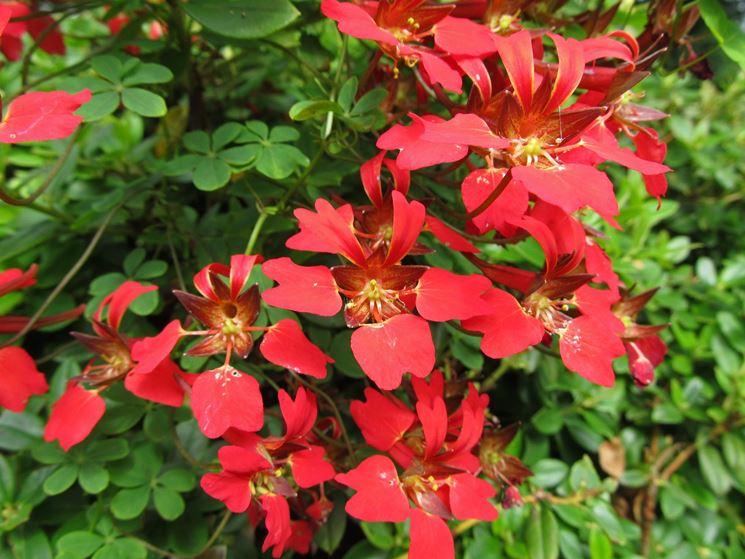 Fiori della pianta rampicante di Tropaeolum speciosum