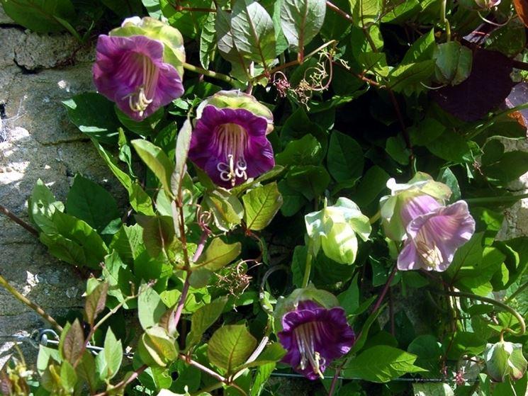Fiori e foglie della pianta di Cobaea