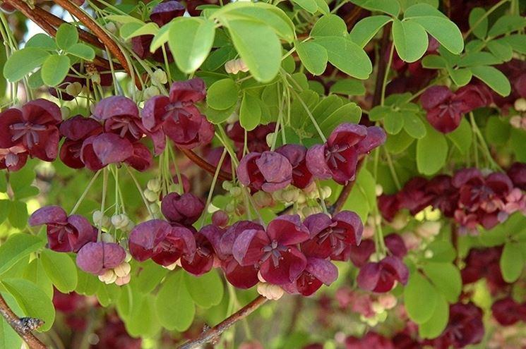 Fiori della pianta di Akebia quinata