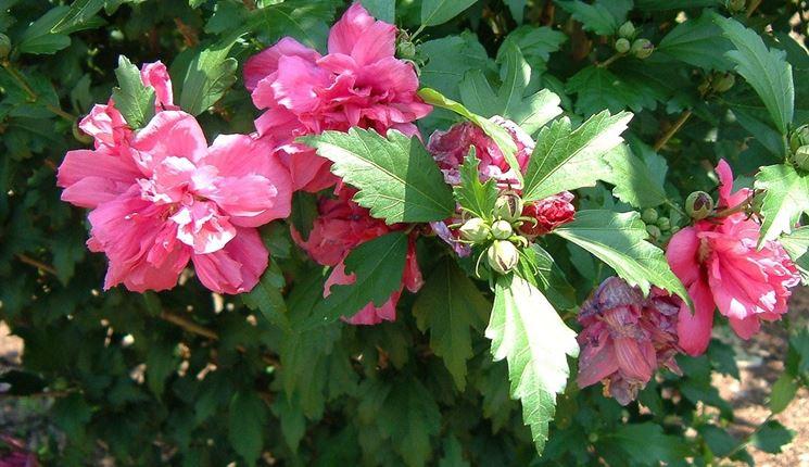 Rampicanti di Hibiscus syriacus