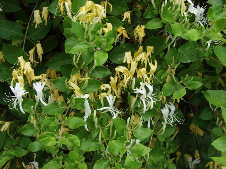 Fiori e foglie di Lonicera japonica