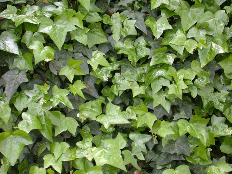 Foglie della pianta di Hedera