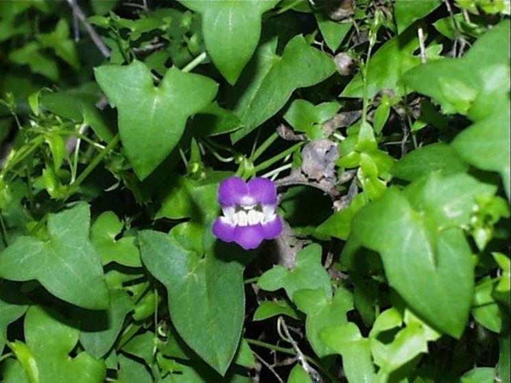 Fiore e foglie di Maurandia antirhiniflora