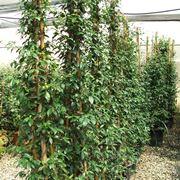 Piante di Rhyncospermum jasminoides