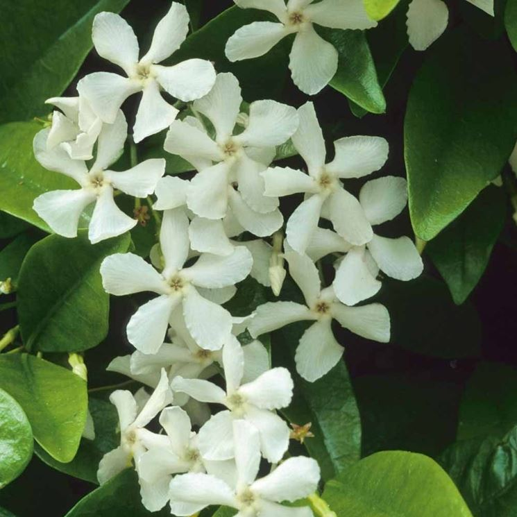 Fiori di Rhyncospermum jasminoides