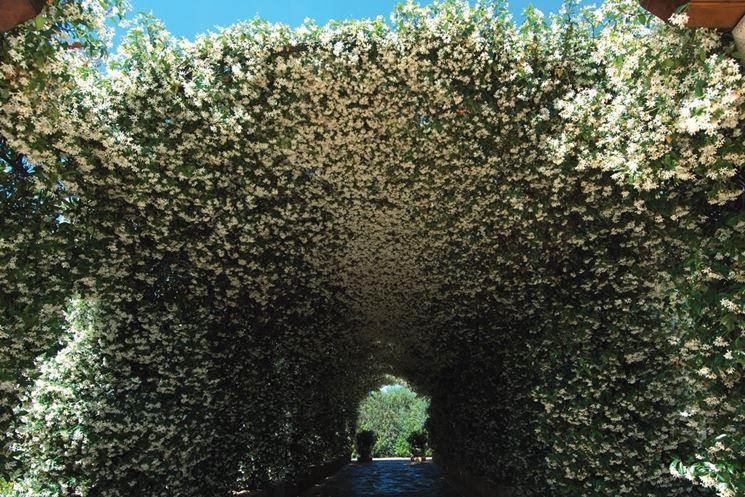 Esemplari rampicanti di Rhyncospermum jasminoides