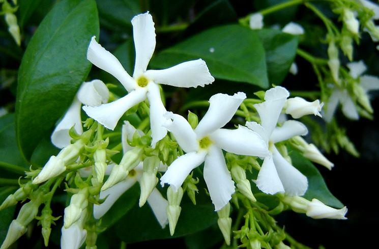 Rincospermum fiore