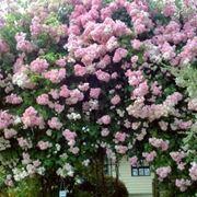 Una pianta di rosa rampicante rifiorente