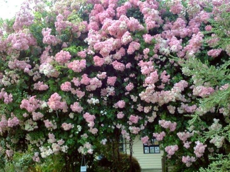 Una pianta di <strong>rosa rampicante</strong> rifiorente