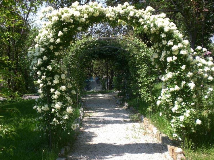 Rose rampicanti rifiorenti bianche che adornano un vialetto