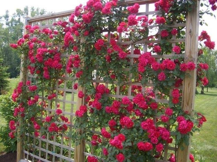 Rose rosse rampicanti rifiorenti