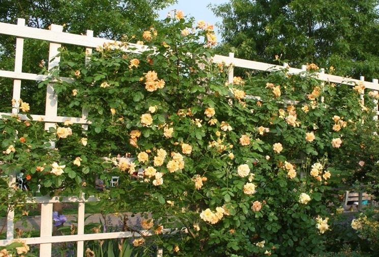 Rose rampicanti rifiorenti gialle di tipo climber