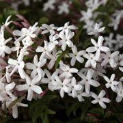 I fiori del gelsomino riuniti in grappoli