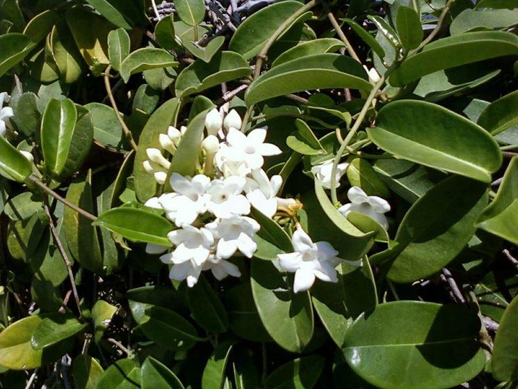 Pianta fiori bianchi