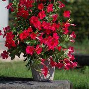 Un esemplare di pianta sundaville in vaso