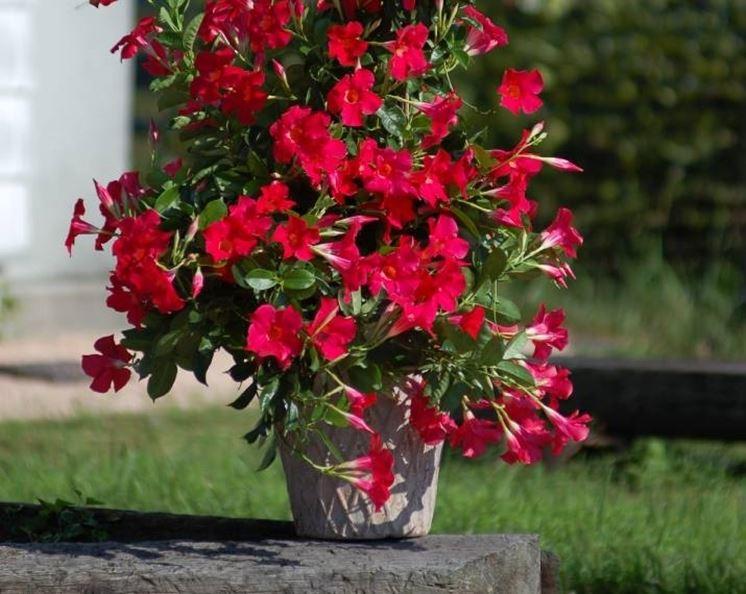 Un esemplare di pianta <strong>sundaville</strong> in vaso