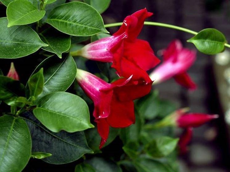 I fiori della pianta sundaville