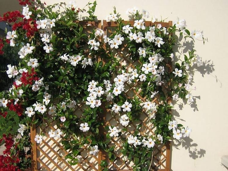 Un esemplare di <em>pianta sundaville</em> rampicante