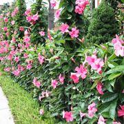 sundaville pianta rampicanti sundaville caratteristiche