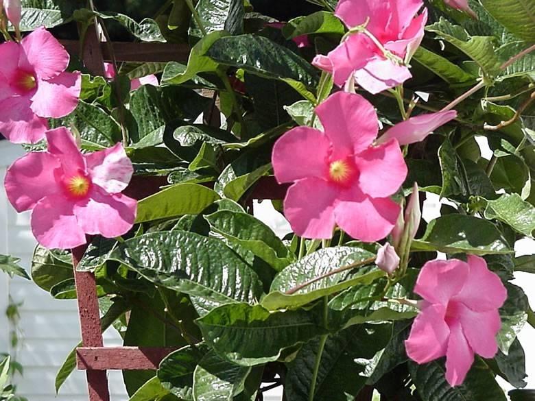 Sundevilla rampicanti for Dipladenia malattie