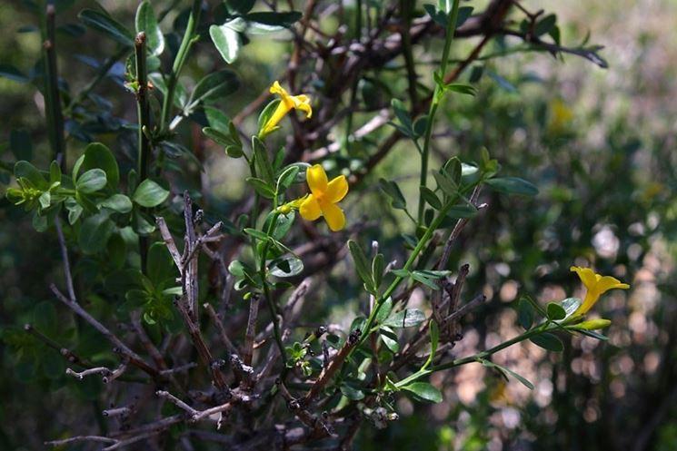 Fiori del jasminum fruticans