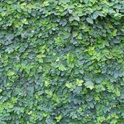 rampicante a muro