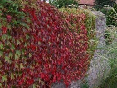 vite canadese in autunno