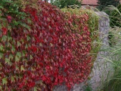 Vite canadese ampelopsis brevipeduncolata rampicanti for Piante belle da giardino
