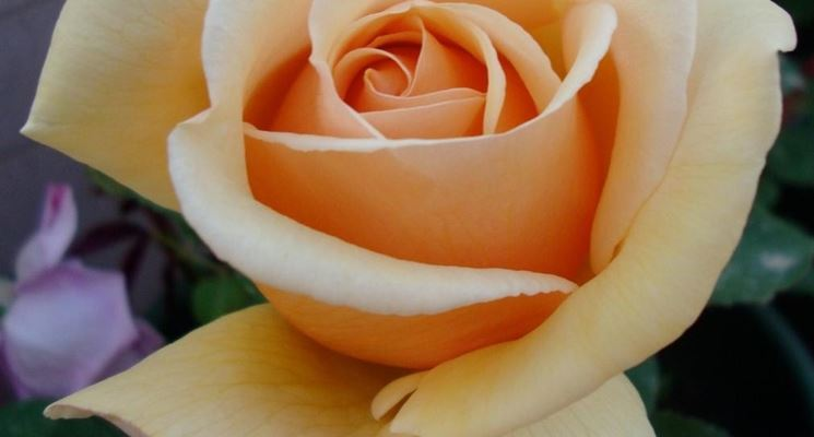 Foto di una rosa.