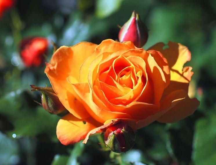 Risultato finale. Rosa fiorita.